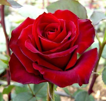 GF-rose28