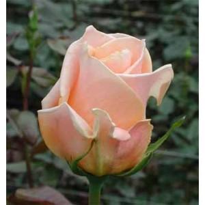 Роза CarambaРоза Caramba представлен на сайте доставки цветов grand-flora.ru в ознакомительных целях. Если вы хотите заказать букет цветов из роз Caramba просим уточнить наличие данного цветка  у консультанта по тел.:<br> +7 (988) 744-46-4...<br>