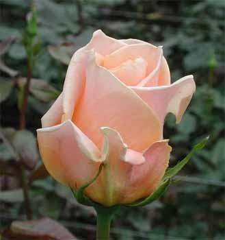 GF-rose29