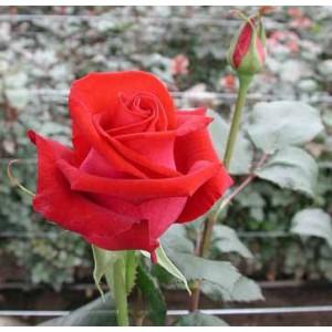 Роза CarreraРоза Carrera представлен на сайте доставки цветов grand-flora.ru в ознакомительных целях. Если вы хотите заказать букет цветов из роз Carrera просим уточнить наличие данного цветка  у консультанта по тел.:<br> +7 (988) 744-46-4...<br>