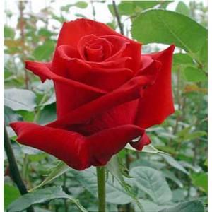 Роза Шарлот(Charlotte)Роза Шарлот представлен на сайте доставки цветов grand-flora.ru в ознакомительных целях. Если вы хотите заказать букет цветов из роз Шарлот просим уточнить наличие данного цветка  у консультанта по тел.:<br> +7 (988) 744-46-44 ...<br>
