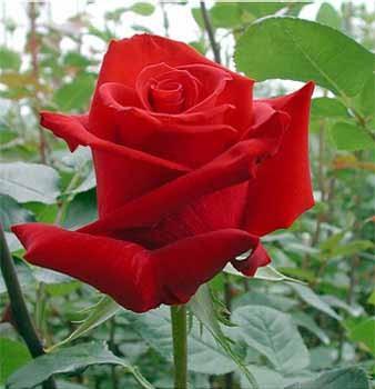 GF-rose32