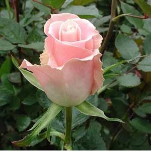 Роза Charming-UniqueРоза Charming-Unique представлен на сайте доставки цветов grand-flora.ru в ознакомительных целях. Если вы хотите заказать букет цветов из роз Charming-Unique просим уточнить наличие данного цветка  у консультанта по тел.:<br> +...<br>
