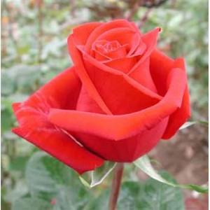 Роза ClassyРоза Classy представлен на сайте доставки цветов grand-flora.ru в ознакомительных целях. Если вы хотите заказать букет цветов из роз Classy просим уточнить наличие данного цветка  у консультанта по тел.:<br> +7 (988) 744-46-44 ...<br>
