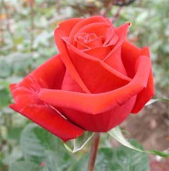 GF-rose35