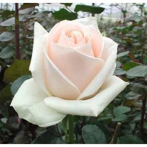 Роза Чистый океан(Clear ocean)Роза Чистый океан представлен на сайте доставки цветов grand-flora.ru в ознакомительных целях. Если вы хотите заказать букет цветов из роз Чистый океан просим уточнить наличие данного цветка  у консультанта по тел.:<br> +7 (988...<br>