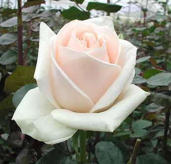 GF-rose36