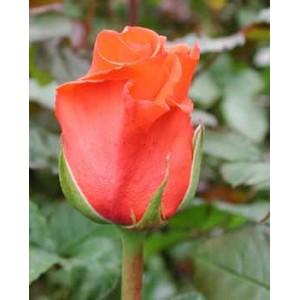 Роза CorvetteРоза Corvette представлен на сайте доставки цветов grand-flora.ru в ознакомительных целях. Если вы хотите заказать букет цветов из роз Corvette просим уточнить наличие данного цветка  у консультанта по тел.:<br> +7 (988) 744-46...<br>