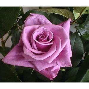 Роза DelilaРоза Delila представлен на сайте доставки цветов grand-flora.ru в ознакомительных целях. Если вы хотите заказать букет цветов из роз Delila просим уточнить наличие данного цветка  у консультанта по тел.:<br> +7 (988) 744-46-44 ...<br>