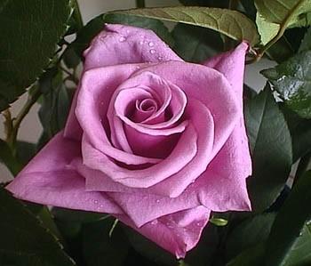 GF-rose39