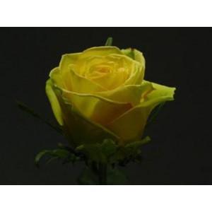 Роза Дивина(Divina)Роза Дивина представлен на сайте доставки цветов grand-flora.ru в ознакомительных целях. Если вы хотите заказать букет цветов из роз Дивина просим уточнить наличие данного цветка  у консультанта по тел.:<br> +7 (988) 744-46-44 ...<br>