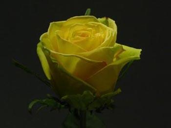 GF-rose40
