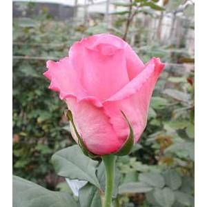 Роза ElizaРоза Eliza представлен на сайте доставки цветов grand-flora.ru в ознакомительных целях. Если вы хотите заказать букет цветов из роз Eliza просим уточнить наличие данного цветка  у консультанта по тел.:<br> +7 (988) 744-46-44 ил...<br>