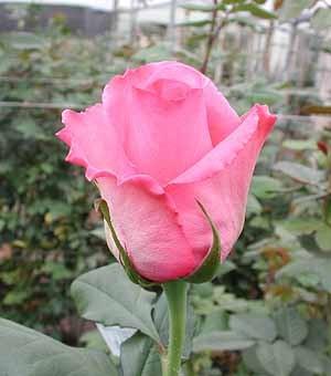 GF-rose41