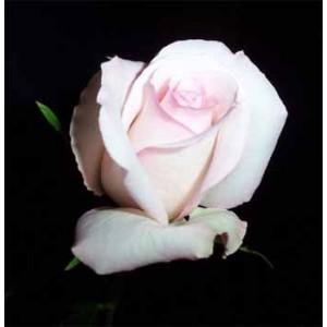 Роза Эмма(Emma)Роза Эмма представлен на сайте доставки цветов grand-flora.ru в ознакомительных целях. Если вы хотите заказать букет цветов из роз Эмма просим уточнить наличие данного цветка  у консультанта по тел.:<br> +7 (988) 744-46-44 или ...<br>