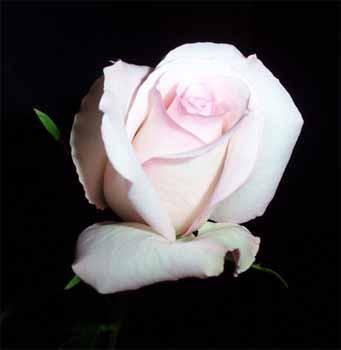GF-rose42