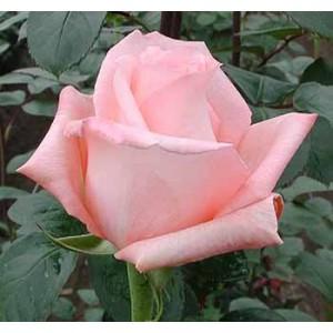 Роза EngagmentРоза Engagment представлен на сайте доставки цветов grand-flora.ru в ознакомительных целях. Если вы хотите заказать букет цветов из роз Engagment просим уточнить наличие данного цветка  у консультанта по тел.:<br> +7 (988) 744-...<br>