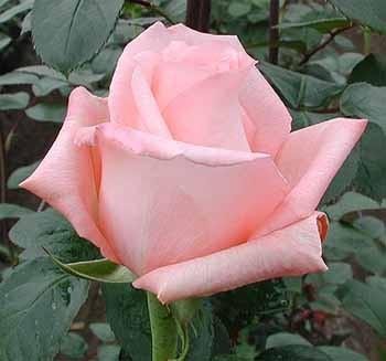 GF-rose43