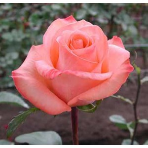 Роза EnsuenoРоза Ensueno представлен на сайте доставки цветов grand-flora.ru в ознакомительных целях. Если вы хотите заказать букет цветов из роз Ensueno просим уточнить наличие данного цветка у консультанта по тел.:<br> +7 (988) 744-46-44...<br>