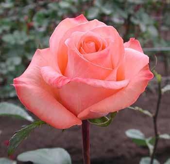 GF-rose44