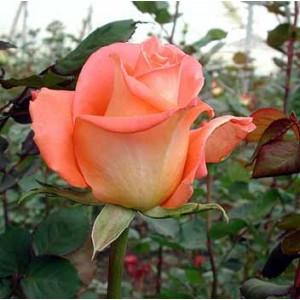 Роза Экзотика(Exotica)Роза Экзотика представлен на сайте доставки цветов grand-flora.ru в ознакомительных целях. Если вы хотите заказать букет цветов из роз Экзотика просим уточнить наличие данного цветка  у консультанта по тел.:<br> +7 (988) 744-46...<br>