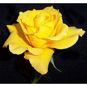 Роза First goldРоза First gold представлен на сайте доставки цветов grand-flora.ru в ознакомительных целях. Если вы хотите заказать букет цветов из роз First gold просим уточнить наличие данного цветка  у консультанта по тел.:<br> +7 (988) 74...<br>