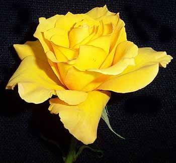 GF-rose46