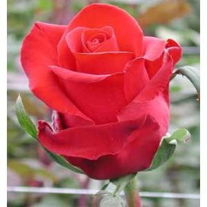 Роза Forever YoungРоза Forever Young представлен на сайте доставки цветов grand-flora.ru в ознакомительных целях. Если вы хотите заказать букет цветов из роз Forever Young просим уточнить наличие данного цветка  у консультанта по тел.:<br> +7 (9...<br>