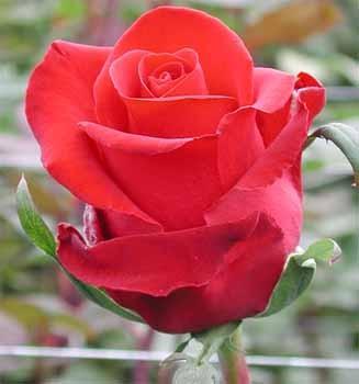 GF-rose48