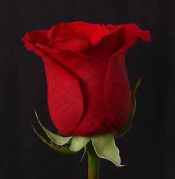 Цветы Гранд Флора GF-rose49 шляпная коробка grand розы freedom blvck
