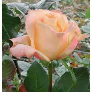 Роза GeishaРоза Geisha представлен на сайте доставки цветов grand-flora.ru в ознакомительных целях. Если вы хотите заказать букет цветов из роз Geisha просим уточнить наличие данного цветка  у консультанта по тел.:<br> +7 (988) 744-46-44 ...<br>