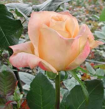 GF-rose50
