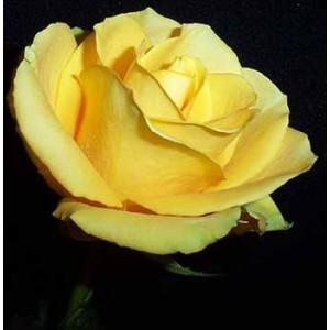 Роза GoldaРоза Golda представлен на сайте доставки цветов grand-flora.ru в ознакомительных целях. Если вы хотите заказать букет цветов из роз Golda просим уточнить наличие данного цветка  у консультанта по тел.:<br> +7 (988) 744-46-44 ил...<br>