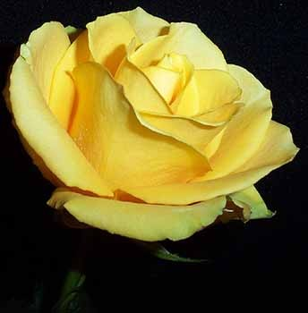 GF-rose51