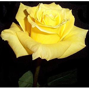 Роза Золотая амазонка(Golden amazone)Роза Золотая амазонка представлен на сайте доставки цветов grand-flora.ru в ознакомительных целях. Если вы хотите заказать букет цветов из роз Золотая амазонка просим уточнить наличие данного цветка  у консультанта по тел.:<br>...<br>