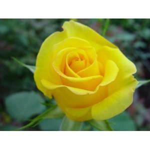 Роза Golden gateРоза Golden gate представлен на сайте доставки цветов grand-flora.ru в ознакомительных целях. Если вы хотите заказать букет цветов из роз Golden gate просим уточнить наличие данного цветка у консультанта по тел.:<br> +7 (988) 7...<br>