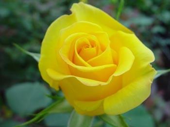 Цветы Гранд Флора GF-rose53
