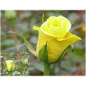 Роза Золотой удар(Gold strike)Роза Золотой удар представлен на сайте доставки цветов grand-flora.ru в ознакомительных целях. Если вы хотите заказать букет цветов из роз Золотой удар просим уточнить наличие данного цветка  у консультанта по тел.:<br> +7 (988...<br>