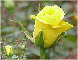 GF-rose54