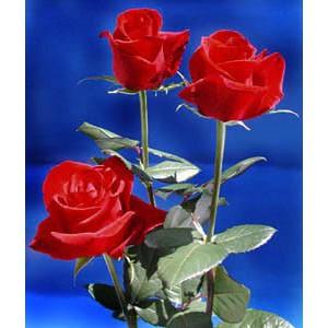Роза Grand galaРоза Grand gala представлен на сайте доставки цветов grand-flora.ru в ознакомительных целях. Если вы хотите заказать букет цветов из роз Grand gala просим уточнить наличие данного цветка у консультанта по тел.:<br> +7 (988) 744...<br>