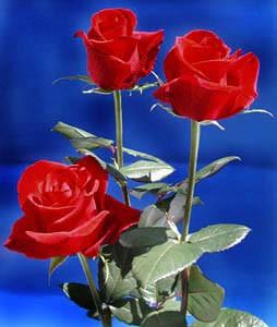 GF-rose55