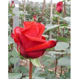Роза Grand prixРоза Grand prix представлен на сайте доставки цветов grand-flora.ru в ознакомительных целях. Если вы хотите заказать букет цветов из роз Grand prix просим уточнить наличие данного цветка  у консультанта по тел.:<br> +7 (988) 74...<br>