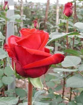 GF-rose56