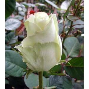 Роза Голивуд(Hollywod)Роза Голивуд представлен на сайте доставки цветов grand-flora.ru в ознакомительных целях. Если вы хотите заказать букет цветов из роз Голивуд просим уточнить наличие данного цветка у консультанта по тел.:<br> +7 (988) 744-46-44...<br>