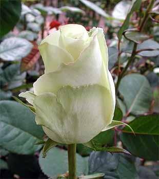 GF-rose58