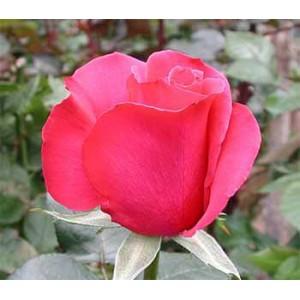 Роза Горячая принцесса(Hot princess)Роза Горячая принцесса представлен на сайте доставки цветов grand-flora.ru в ознакомительных целях. Если вы хотите заказать букет цветов из роз Горячая принцесса просим уточнить наличие данного цветка у консультанта по тел.:<br>...<br>