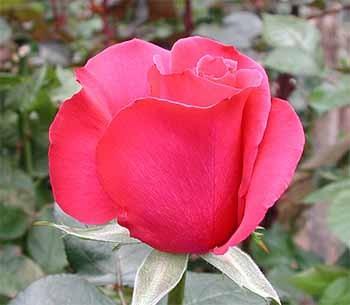 GF-rose59