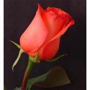 Роза Импульс(Impulse)Роза Импульс представлен на сайте доставки цветов grand-flora.ru в ознакомительных целях. Если вы хотите заказать букет цветов из роз Импульс просим уточнить наличие данного цветка у консультанта по тел.:<br> +7 (988) 744-46-44...<br>