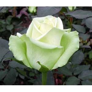Роза JadeРоза Jade представлен на сайте доставки цветов grand-flora.ru в ознакомительных целях. Если вы хотите заказать букет цветов из роз Jade просим уточнить наличие данного цветка у консультанта по тел.:<br> +7 (988) 744-46-44 или п...<br>