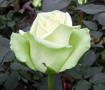 GF-rose61